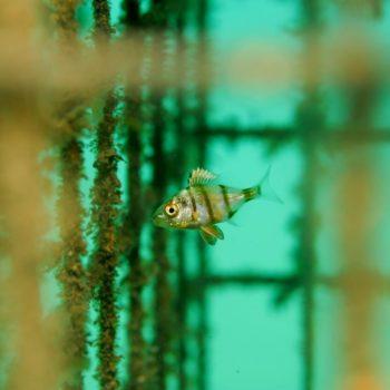 Diplodus puntazzo © Remy Dubas ECOCEAN