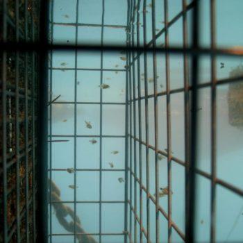 Diplouds puntazzo © Remy Dubas ECOCEAN