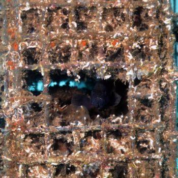 Epinephelus marginatus © Remy Dubas ECOCEAN