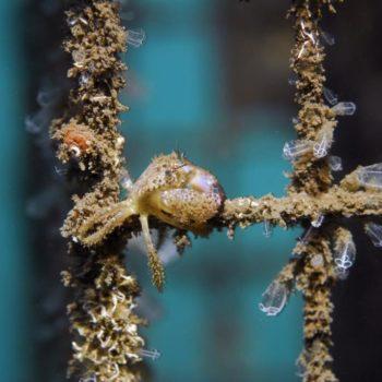 Eriphia verrucosa © Remy Dubas ECOCEAN