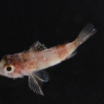 Scorpanidae sp en aquarium © Alizee Frezel ECOCEAN